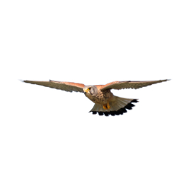 hawk flying on a white background